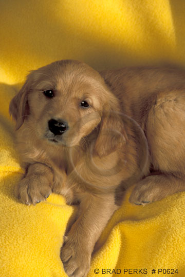 golden retriever puppy pictures. Baby Golden Retriever Puppy