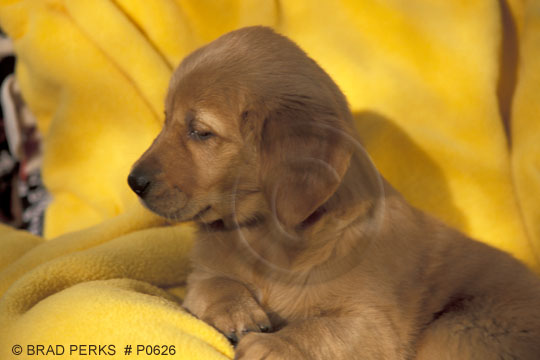 8 week old golden retriever puppy pictures. Golden Retriever pure bred 7